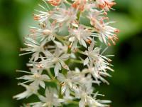 Foam Flower